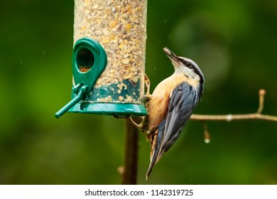 Closeup of a Eurasian nuthatch or wood nuthatch bird (Sitta europaea) perched on a branch, eating seeds from a birdfeeder in a garden.