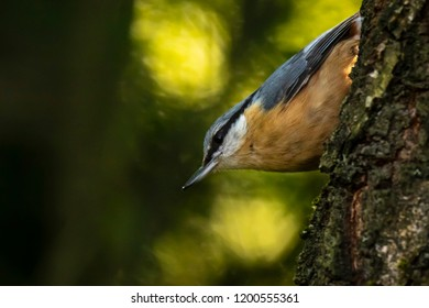 Closeup of a Eurasian nuthatch or wood nuthatch bird (Sitta europaea) perched on a branch, foraging in a forest. Selective focus is used, dark background.
