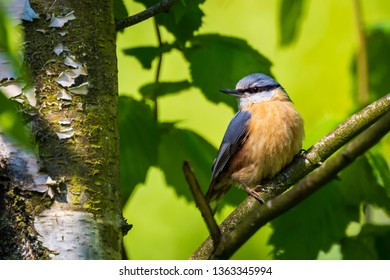 Closeup of a Eurasian nuthatch or wood nuthatch bird (Sitta europaea) perched on a branch, foraging in a forest.