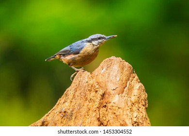 Closeup of a Eurasian nuthatch or wood nuthatch bird (Sitta europaea) perched on a branch, foraging in a forest. Selective focus is used
