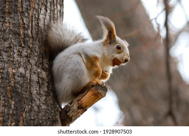 Closeup of an Eurasian red squirrel Sciurus vulgaris in a gray winter coat sitting on a tree branch with acorn in its mouth