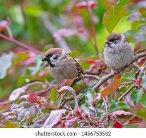 Closeup of an Eurasian tree sparrow (passer montanus)  sitting on a twig