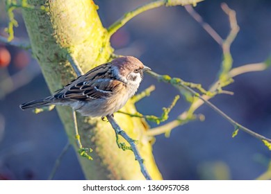 Closeup of an eurasian tree sparrow sitting on the twig of a tree