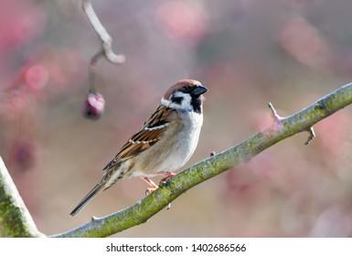 Closeup of an Eurasian Tree Sparrow sitting on a twig