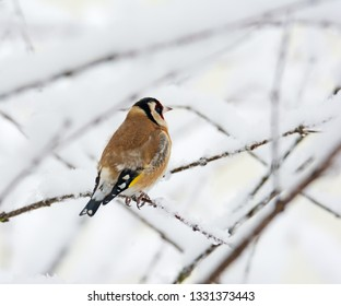 Closeup of a European goldfinch sitting on a snow covered tree branch