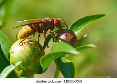 Closeup European hornet (Vespa crabro) on bud of peony flower seen from profile