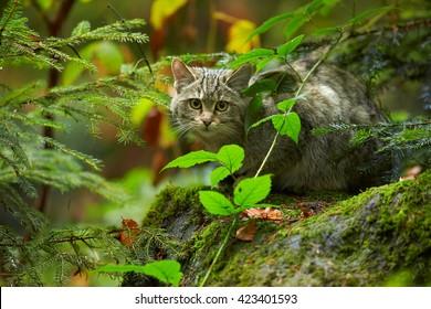 Close-up European Wildcat, Felis silvestris,  lurking for prey  in wet european autumn forest hidden hidden in typical environment vegetation, sitting on mossy rock against blurred fallen leaves.