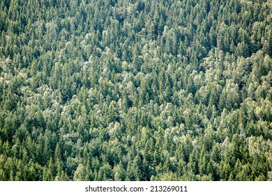 Closeup of evergreen forest background.