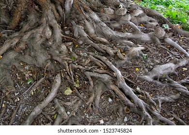 Closeup of exposed tree roots  in the forest-tangled texture