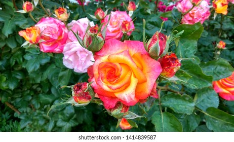 Close-up of exquisite, cameleon roses & rose buds against glossy, dark green leaves. Flamboyant, bicolour, pink-yellow roses with buds contrasting with green foliage on a shrub growing in a rose bed.