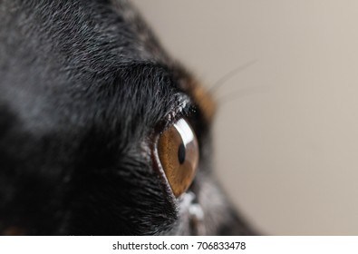 closeup of the eye of a black daschund
