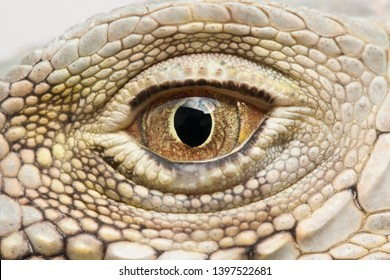 Close-up of the eye of a Green Iguana (Iguana iguana).