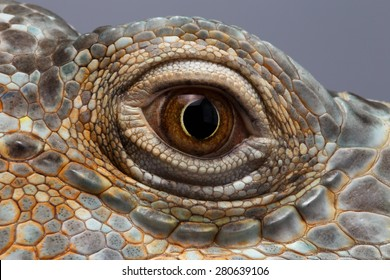 Closeup Eye of Green Iguana, Looks like a Dragon