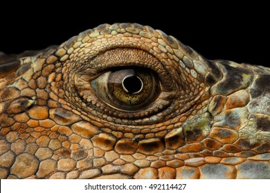 Closeup Eye of Green Iguana, Looks like a Dragon Isolated on Black Background