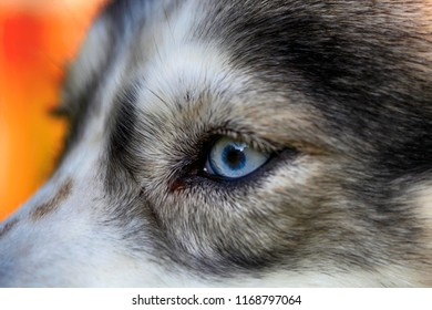 Close-up eye of an Siberian husky dog