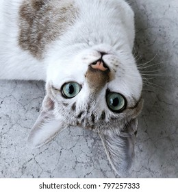 Closeup eyes cat for portrait photo. Cat looking up and thinking pretty action of thai cat. White kitten breed Thailand staring. Cattery expression. kitty thai species playing at home with copy space