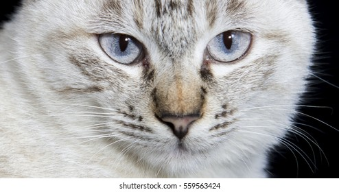 Close-up eyes of Gray cat
