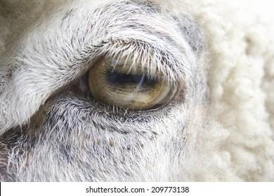 Close-up of the Eyes of Sheep