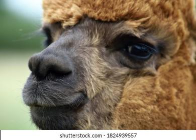 A close-up of an alpaca's face