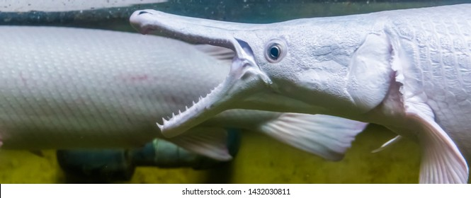 closeup of the face of a alligator gar opening its mouth, The denture of a alligator gar, fish showing its sharp teeth, tropical fish specie from America