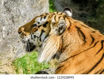 Closeup of the face of an Amur Tiger.