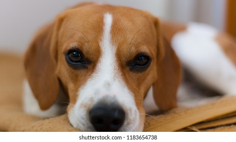 Close-up of the face of a beagle puppy bicolor caramel and white given in a blanket