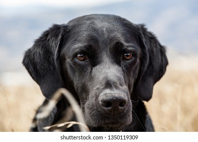 Close-up of the face of a black labrador retriever
