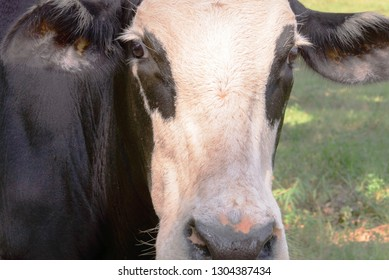 closeup face of black and white cow grazing on green grass under trees