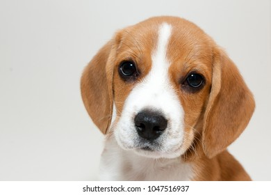 Close-up of the face of a brown and white bicolor beagle puppy