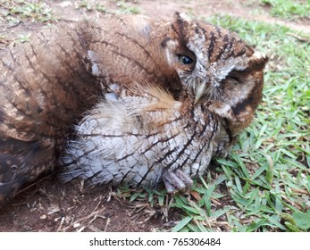 Close-up of the face of a brown and white owl lying on a lawn with one eye open and one closed