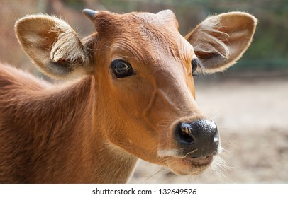 Close-up face of a cow.