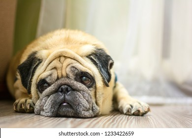 Close-up face of a cute dog pug open eye chin lying on laminate floor