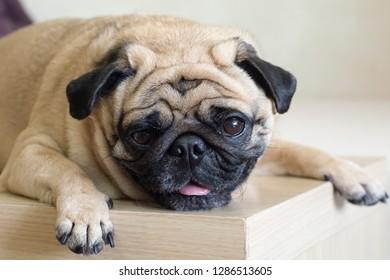 Close-up face of cute dog pug and sad face sleep on the floor