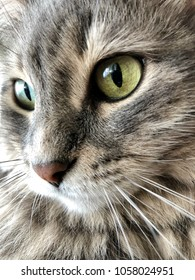 closeup face of a cute gray cat