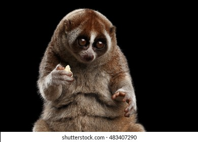Close-up Face of Cute Lemur Slow Loris Sitting and Eating Isolated Black background