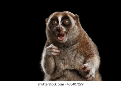Close-up Face of Cute Lemur Slow Loris Sitting and Stare with opened mouth, Funny Animal Isolated Black background