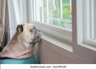 Close-up Face of Cute lonely Pug Puppy Dog Looking Out a Window alone like forsake waiting owner.