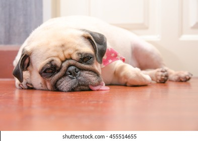 Wonderful Heavy Chubby Adorable Dog - closeup-face-cute-pug-fat-260nw-455514655  Collection_963253  .jpg