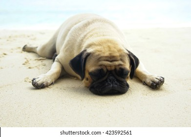 Close-up face of Cute pug puppy dog sleeping rest on the beach.
