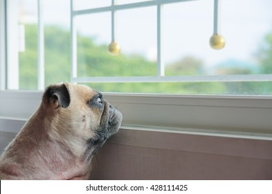 Close-up face of cute pug puppy dog looking out a window alone like forsake waiting owner.