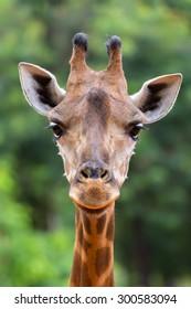Closeup face giraffe in the wild.