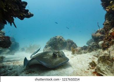 closeup of the face of a gray sting ray hovering inches off sand in shoals