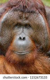 close-up face of a male borneo orangutan at Tanjung Puting National Park, Indonesia