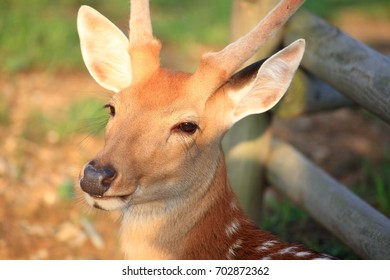 Close-up a face of male formosan deer with antlers