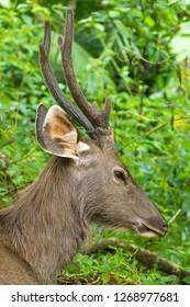 Closeup face of male Sambar deer in forest at Khao Yai, Nakhon Ratchasima, Korat, Thailand (Rusa unicolor)