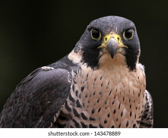 A close-up of the face of a Peregrine Falcon (Falco peregrinus) staring at the camera.  These birds are the fastest animals in the world.