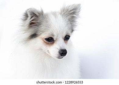 Closeup face of puppy pomeranian looking at something with white background, dog healthy concept, selective focus