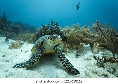 Closeup of face of a sea turtle eyeing diver in shoals on coral reef