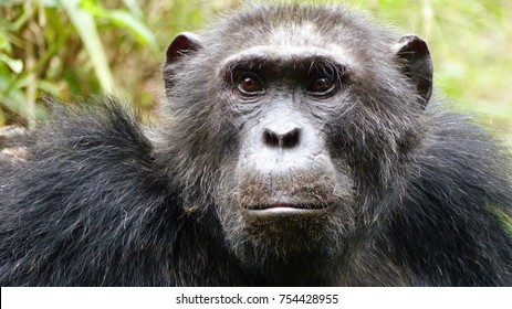 Close-up of face and shoulders of a deeply depressed looking black haired, fury chimpanzee with extremely sad eyes, very touchy expression, green grass background, Queen Elizabeth National Park Uganda