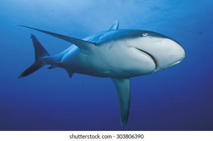 CLOSE-UP FACE OF SILVERTIP SHARK
